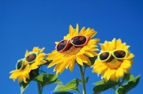 Szczęśliwe słoneczniki!