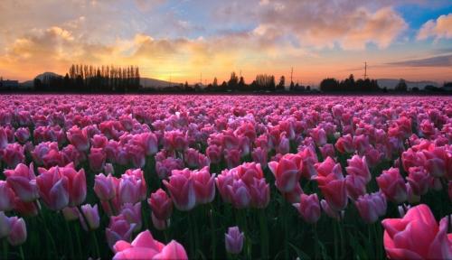 Poranek na polu tulipanów
