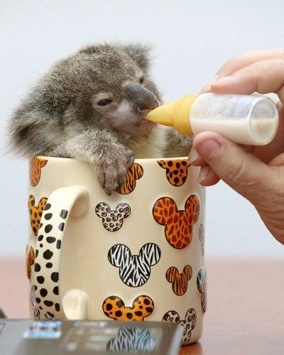 to tylko mały koala w kubeczku